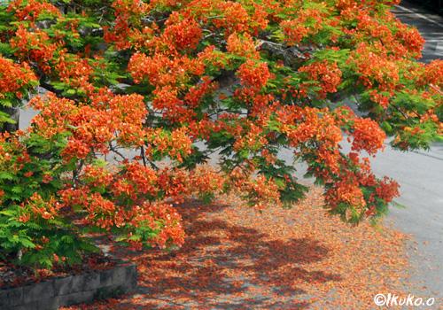 植物園前の鳳凰木