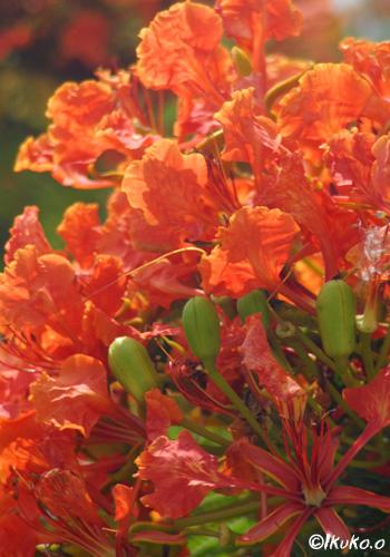 ホウオウボクの花びら