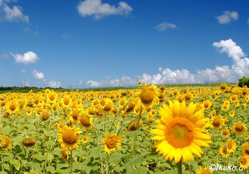 見渡す限り広がる黄色の絨毯