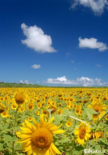 東を向いたひまわりの花々