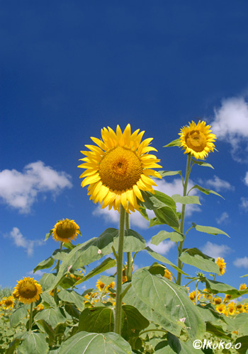 太陽に向かう花