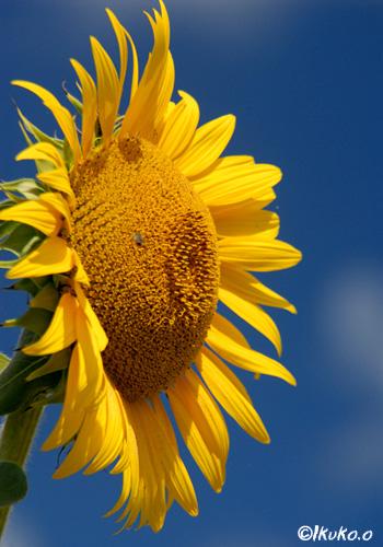 太陽の光を浴びるひまわり