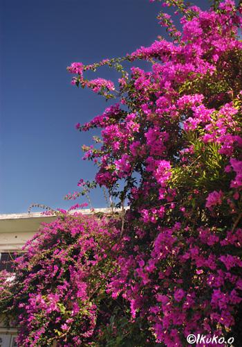 咲き乱れるブーゲンビレア