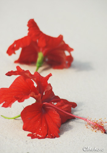 白砂に映える赤い花