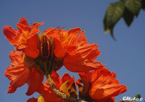 青空とカエンボクの花