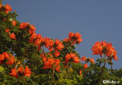 咲き乱れる火焔の花々