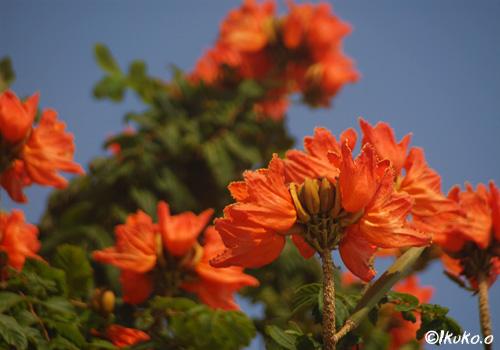 カエンボクの花