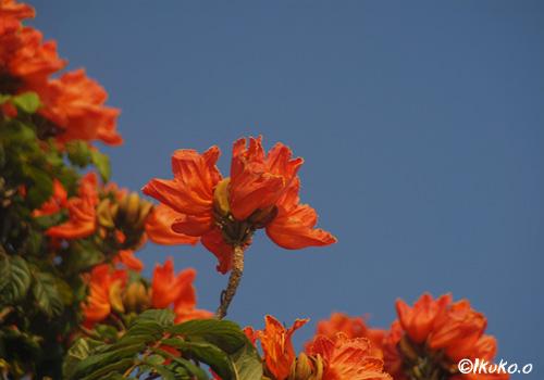 青空に首をのばす花