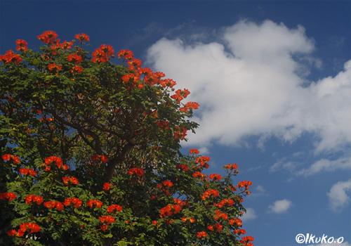 カエンボクの大木