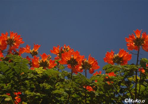 大輪の花々