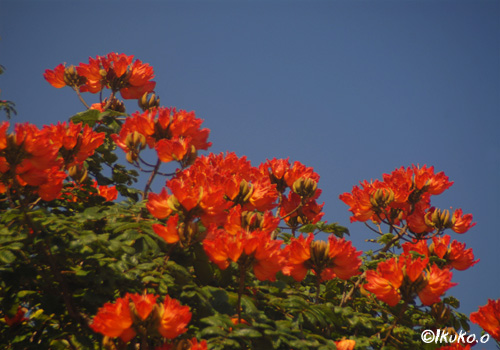 カエンボクの花々