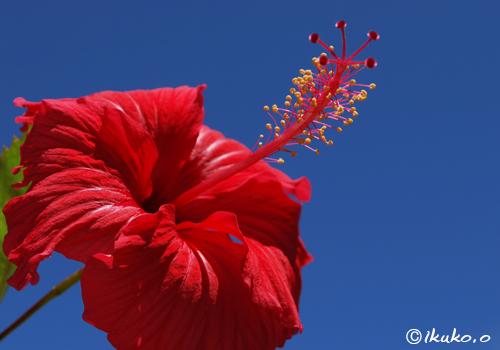 夏空とハイビスカスの花