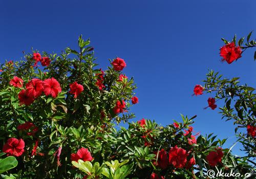 青空とハイビスカスの花々
