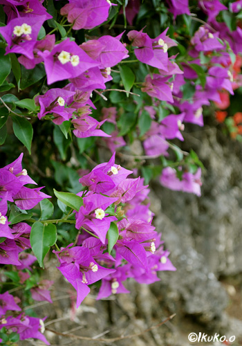 紫色のブーゲンビレア