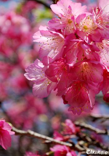 ヒカンザクラの花