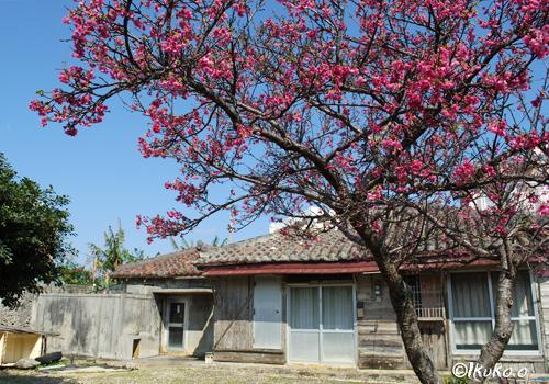 古民家と緋寒桜の木
