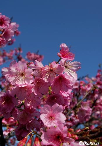 青空と満開のヒカン桜