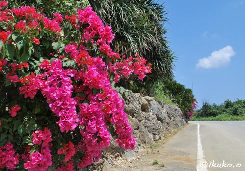 ブーゲンビレアの咲く道
