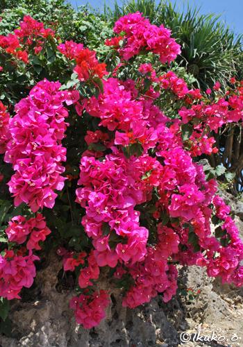 見事な咲きっぷり