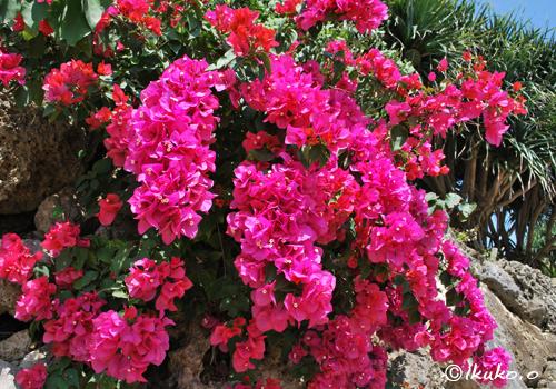 八重咲きの華麗な花