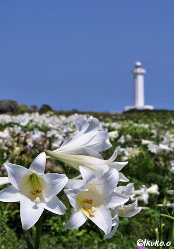 百合と灯台