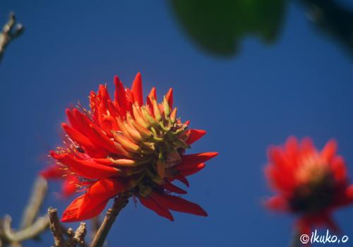 来間島・雨乞座のデイゴの花