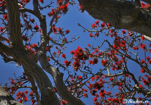 デイゴの大木と青空