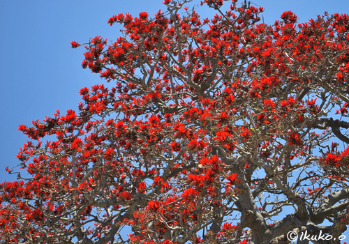 宮古保健所のデイゴの大木