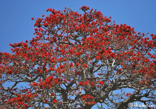 大木を彩る満開のデイゴ