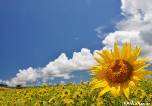 真夏のひまわり畑