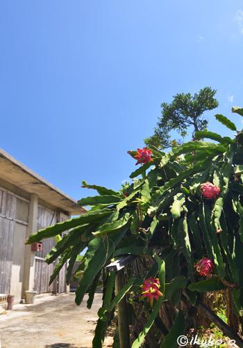 木のようなドラゴンフルーツ