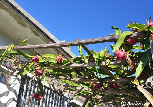 ドラゴンフルーツの屋根