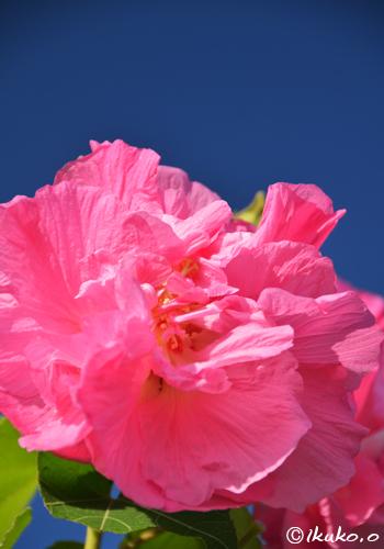 青空に映える大輪の花