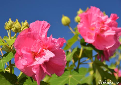 芙蓉の花とつぼみ