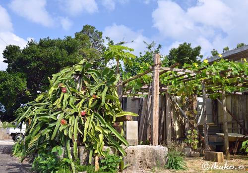 生い茂るドラゴンフルーツ