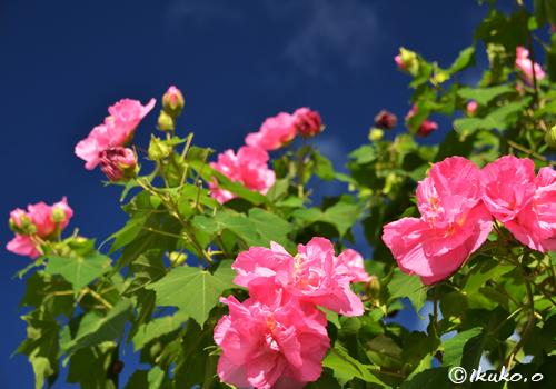 青空と芙蓉の花