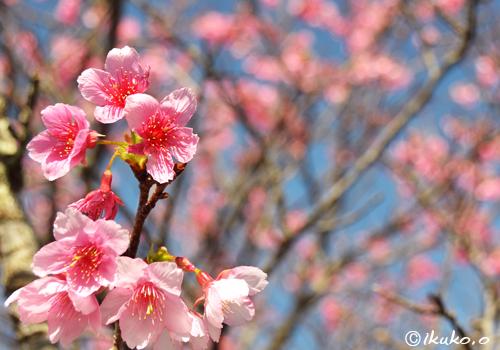 満開の緋寒桜