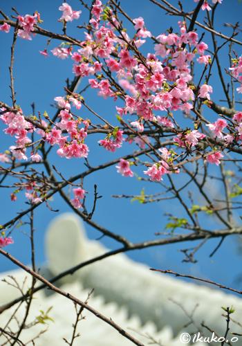 民家の緋寒桜