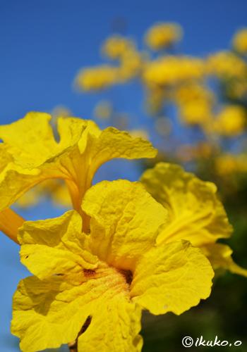 イッペーの花
