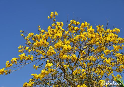 まばゆい黄金色の花々