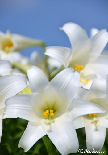 真っ白な百合の花