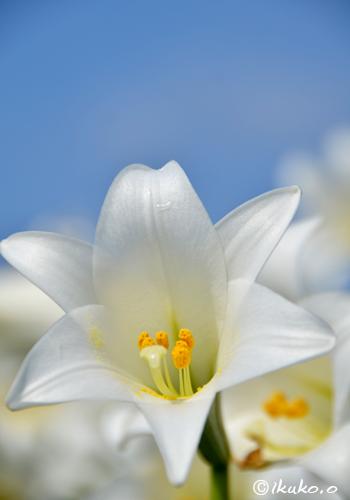 気品のある花