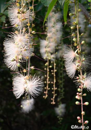 濃厚な芳香を放つ花