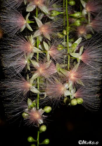 闇に浮かぶサガリバナの花
