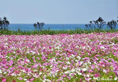 海とコスモス畑