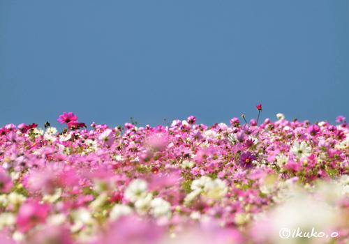 春のコスモス畑