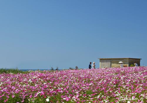 来間島のコスモス畑