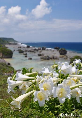 岬に咲く百合