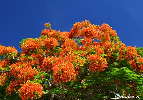 夏空と鳳凰木の花