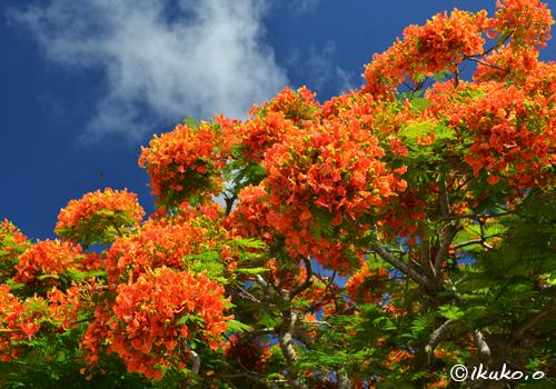 八重咲きの鳳凰木の花